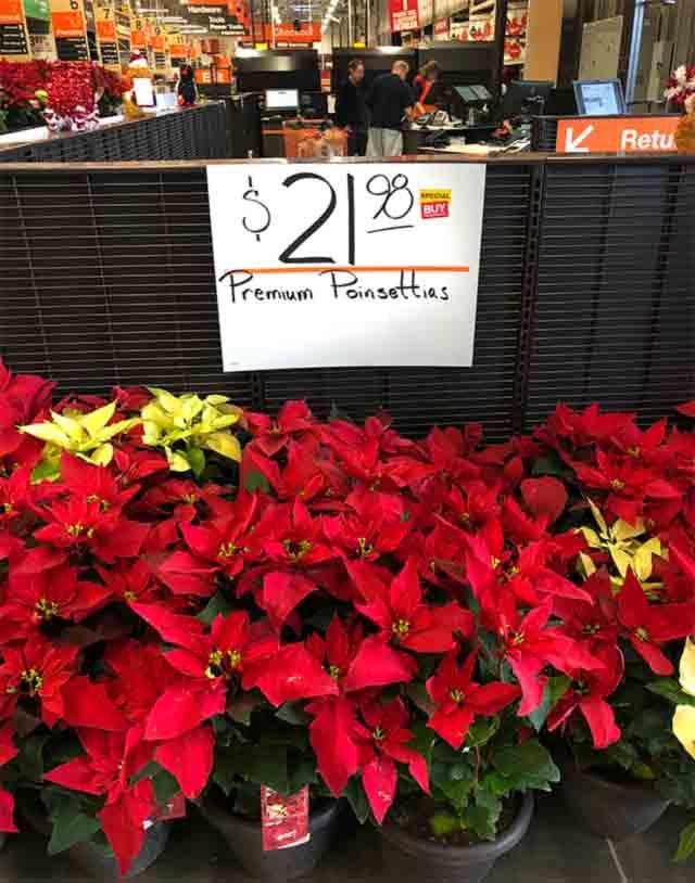 Premium Poinsettias at the Home Depot